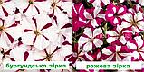 Петунія мультіфлора Селебреті F1 (колір на вибір) 500 шт., фото 2