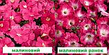 Петунія мультіфлора Селебреті F1 (колір на вибір) 500 шт., фото 3