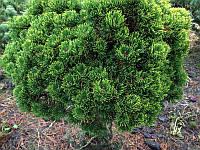 Сосна гірська Picobello 5 річна, контейнер 4л, Сосна горная Пикобелло, Pinus mugo Picobello