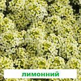 Аліссум (Лобулярія) Істе Боннет 1000 шт. (колір на вибір), фото 2