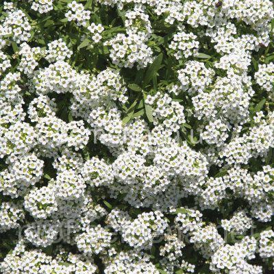 Аліссум Снігова Куля 5 г, фото 1
