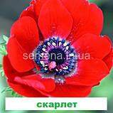 Анемона Гармонія (колір на вибір) 50 шт., фото 5