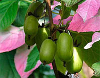 Актинидия Коломикта (женское растение) - 1 летние саженцы