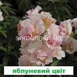 Антіррінум Твінні  F1 (колір на вибір) 100 шт (карликовий махровий), фото 3