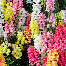 Антіррінум (ротики садові)