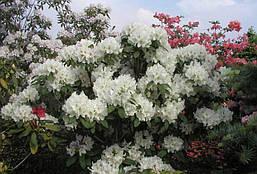 Рододендрон гібридний Еskimo 3 річний, Рододендрон гибридный Ескимо, Rhododendron hybrid Еskimo, фото 3