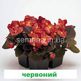 Бегонія Найтлайф F1 (бронз. лист)  (колір на вибір)  1000 шт., фото 4