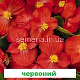 Бегонія Спрінт Плюс F1 (колір на вибір) 1000 шт., фото 7