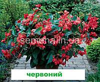 Бегонія Дрегон Вінг F1 (колір на вибір) 50 шт. (каскадна), фото 1