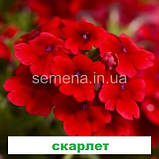 Вербена Кварц XP F1 (колір на вибір) 100 шт., фото 2