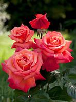 Саженцы роз Христофор Колумб