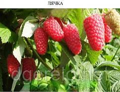 Малина Лячка - ранній сорт, саджанці малини літньої