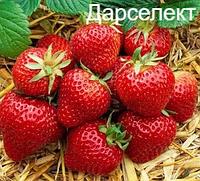 Рассада клубники - Дарселект (ранний)