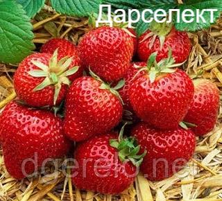 Клубника Дарселект (ранний)
