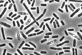 Самый прочный в мире клей производится бактериями