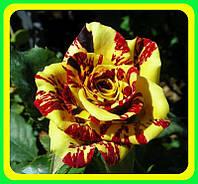Роза бардюрная Абракадабра (Abracadabra)
