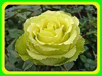 Роза чайно-гибридная Лимбо ( саженцы )