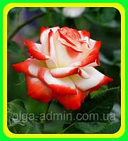 Роза чайно-гибридная Императрица фаррах ( саженцы )
