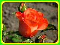 Роза  Чайно-гибридная сорт Вау ( саженцы )