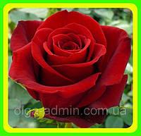 Роза чайно-гибридная сорт  Черри Лав саженцы декоративных  цветов