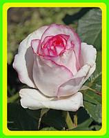 Роза чайно-гибридная Белла Вита  Bella Vita ( саженцы )