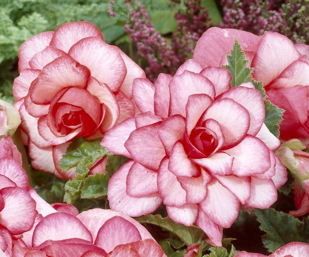 Клубень Бегония Бутон розы