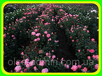 Фото саженцев роз.