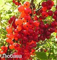Красная смородина Любава (средний).