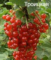 Троицкая - саженцы красной смородины (средняя).
