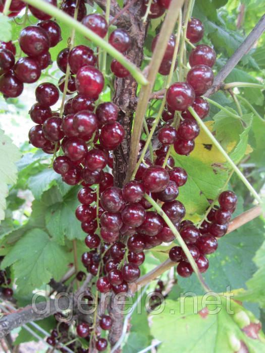 Саженцы красной смородины - сорт Виксне, ранняя