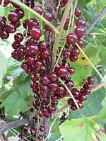 Саджанці червоної смородини - сорт Віксне, рання