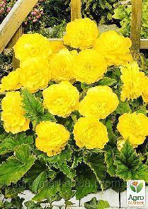 Клубень Бегония Махровая желтая