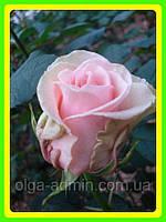 Роза чайно гибридная Кин конг ( саженцы )