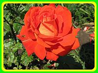 Розы - Чайно-гибридные сорт Верано