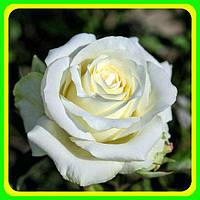 Роза чайно-гибридная Анастассия