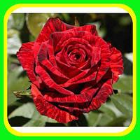 Роза чайно-гибридная  (Red Intuition).