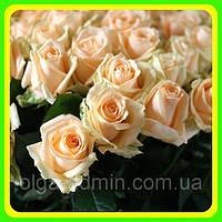 Роза чайно-гибридная Пич Аваланш (Avalanche Peach) саженцы