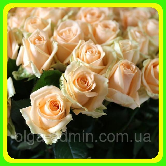 Роза чайно-гибридная Пич Аваланш (Avalanche Peach) саженцы -   Vip-Sad   Прямые поставки от производителя. Для дома и сада   в Николаеве