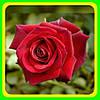 Роза чайно-гибридная Ред Берлин (Red Berlin)