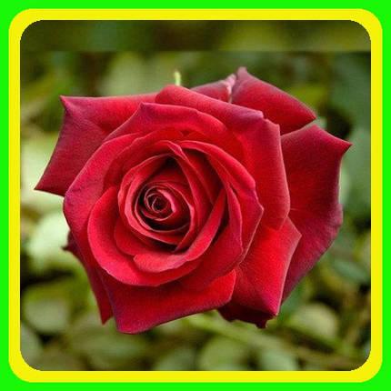 Роза чайно-гибридная Ред Берлин (Red Berlin), фото 2