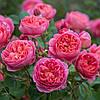 Саженцы Розы Английские