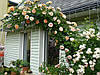 Саженцы розы английские махровые (вьющиеся)