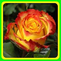 Роза чайно-гибридная Текила Санрайс( саженцы )