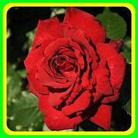 Роза чайно-гибридная Мисс Швейц ( саженцы )
