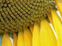 Семена подсолнечника Базальт