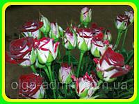 Роза бордюрная Руби Стар (Ruby Star) ( саженцы )