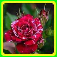 Роза бардюрная  сорт Эрроу Фолиес саженцы / цветы