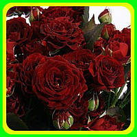 Роза бардюрная Руби кон ( саженцы )