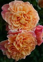 Кордес роза в Алоха