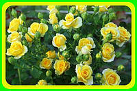 Роза бардюрная желтая сорт Сан Сити  ( саженцы )